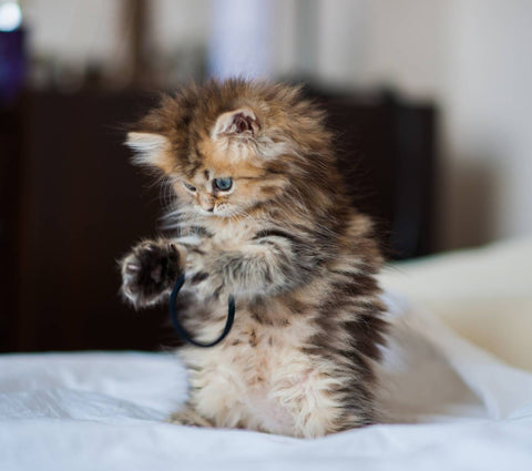 Kitten Standing On Hind Legs