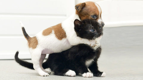 Kitten Attacking Dog