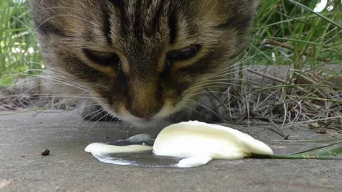 Can Cats Eat Sour Cream