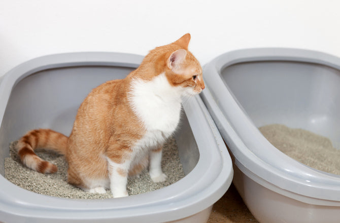 The reason why cats play with poop