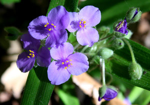 The Amazing Spiderwort! Identification and Uses