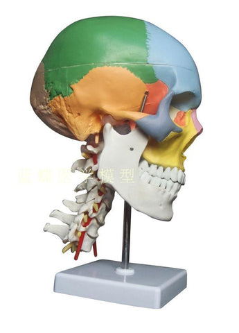 Color Coded Human Skull Anatomy Model