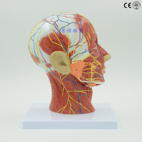 Educational aid for human head anatomy - Right Side Human Skull Anatomy Model with muscles, nerves and blood vessels