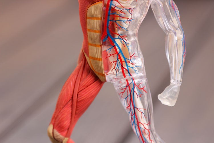 Be an expert of human muscle anatomy with this 4D assembled model