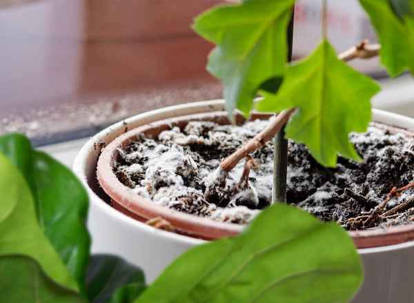 How To Get Rid Of Mold In Houseplant Soil Smart Garden Guide