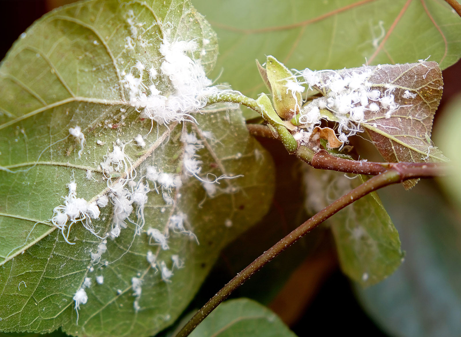 How To Get Rid Of Mealybug On Houseplants