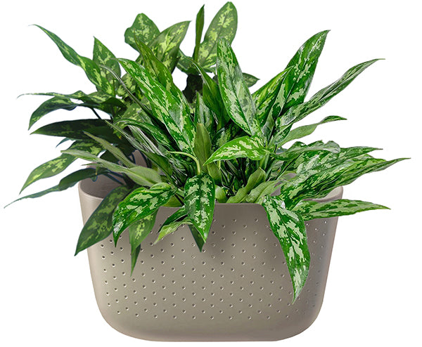 Chinese Evergreen in Wally Eco Stone