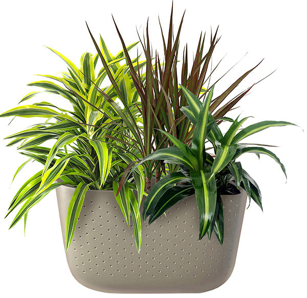 Dracaena in Wally Eco Stone