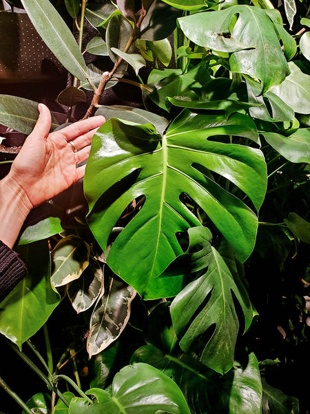 Giant Monstera leaf in a Wally Eco