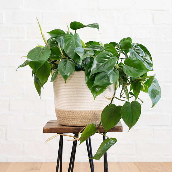 Philodendron Heartleaf