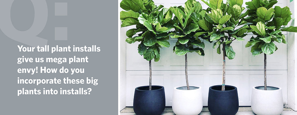 Your tall plant installs give us mega plant envy! How do you incorporate these big plants into installs?