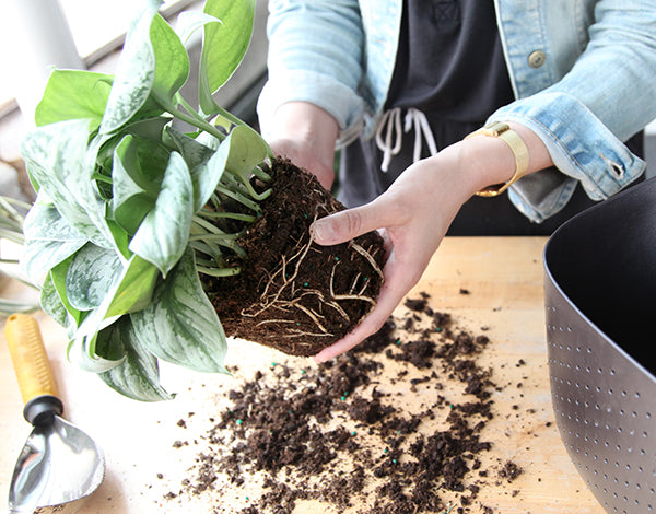 Repotting a plant into a Wally Eco