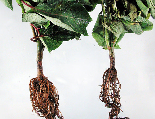 Root and Stem Rot