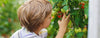A boy investigates unripe tomatoes hanging on the vine.