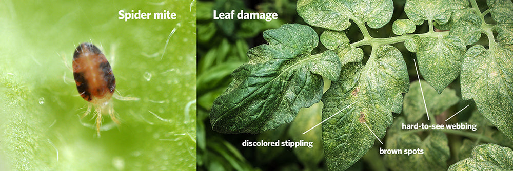 Spider mites and leaf damage