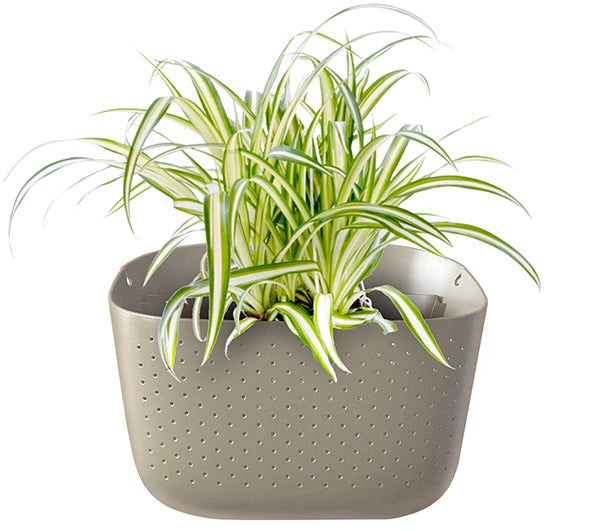 Spider Plant in Wally Eco Stone