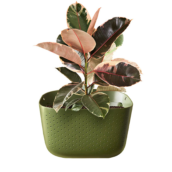 Variegated Rubber Plant in Wally Eco Olive