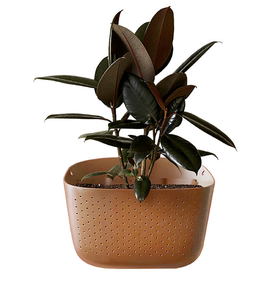Burgundy Rubber Plant in Wally Eco Terracotta