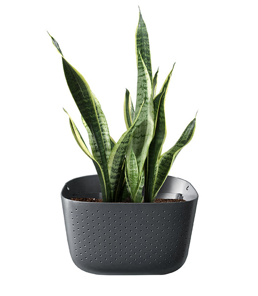 Snake Plant in Wally Eco Charcoal