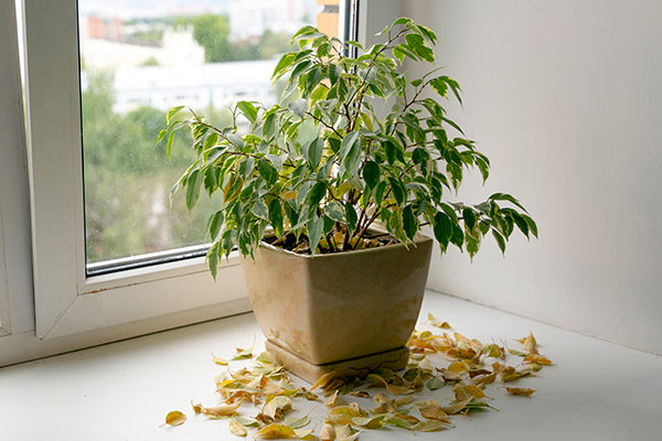 Houseplant dropping leaves
