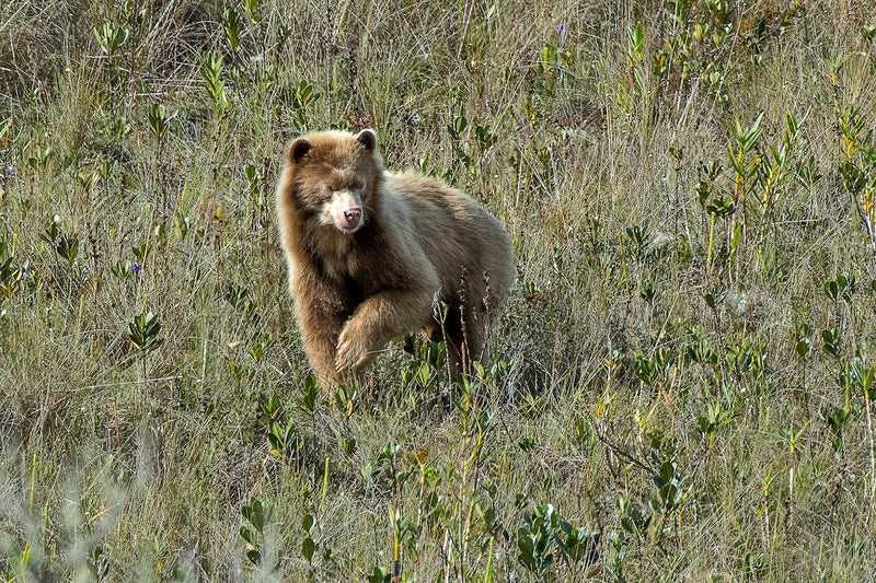 Spirit Bear of the Andes