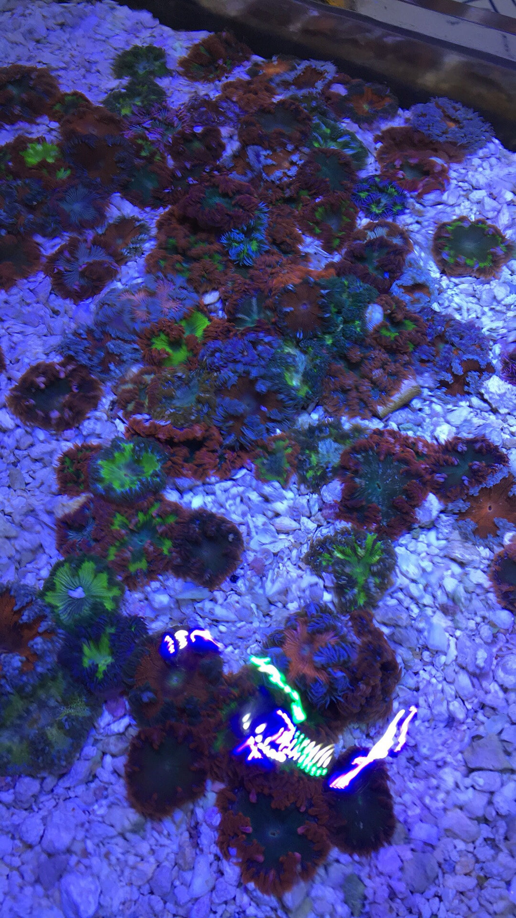 Freshwater fish store near me - Ultra Rock Flower Anemones Cherry Picked For Your Order