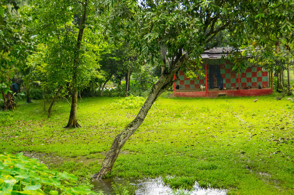 Agarwood Trees in the Backyard of a Village House in Assam