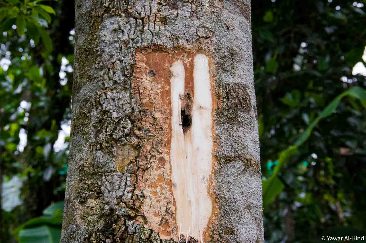 Agarwood tree infected section