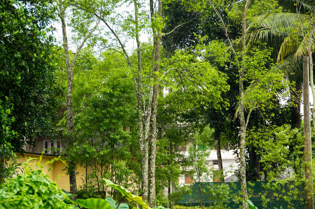 Agarwood Trees in the Front Garden of a House in Assam