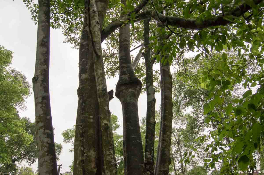 Agarwood tree in Assam