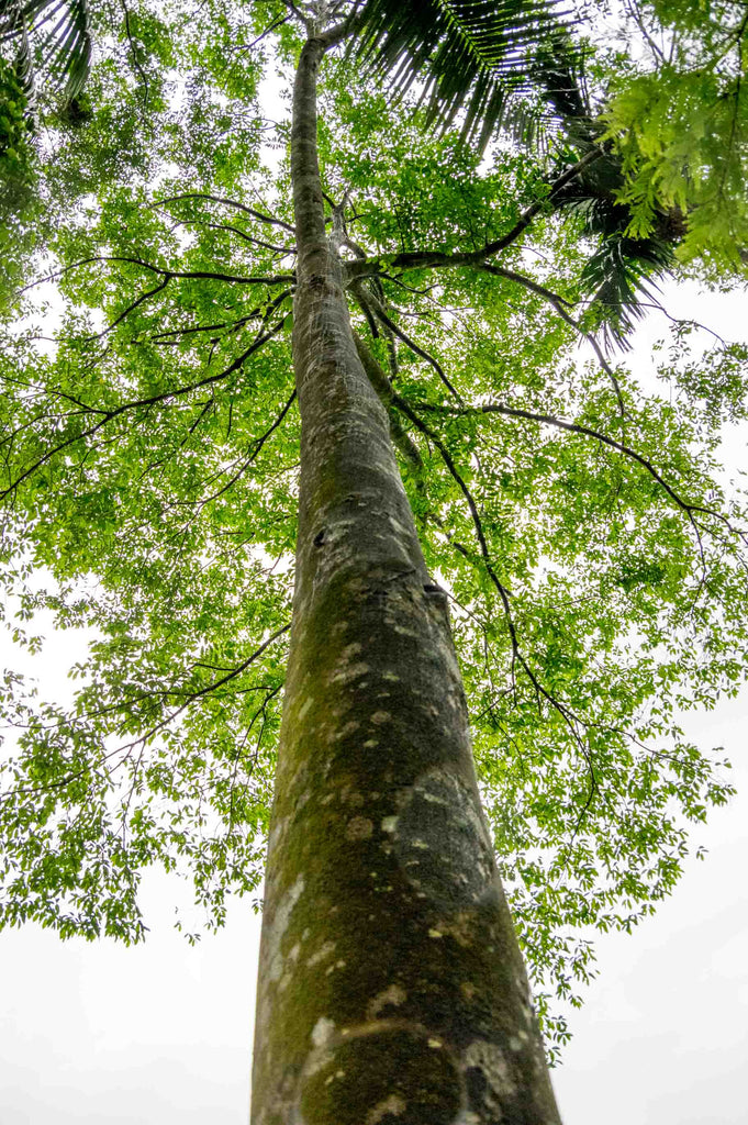 Very Tall and Huge Agarwood Tree in Assam India