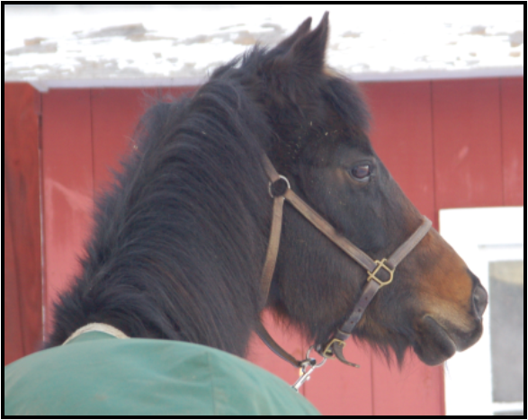 Winter Laminitis