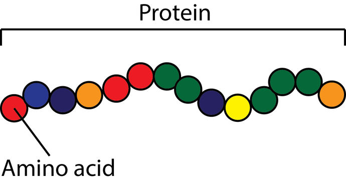 Intro to Protein & Amino Acids