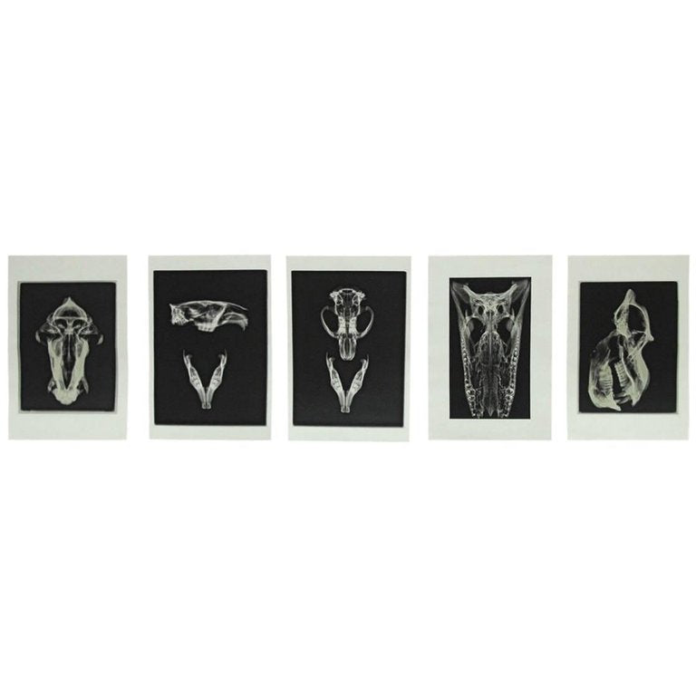 Set of Five X-Rayed Animal Skull Prints
