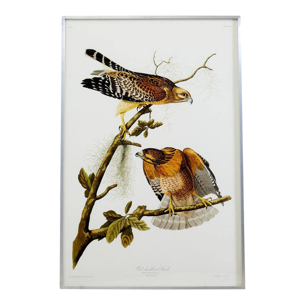Audubon Red-Shouldered Hawk Plate #56 Havell Oppenheimer Edition