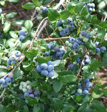 Organic Climax Blueberry Plants | Tolerant Early Ripening