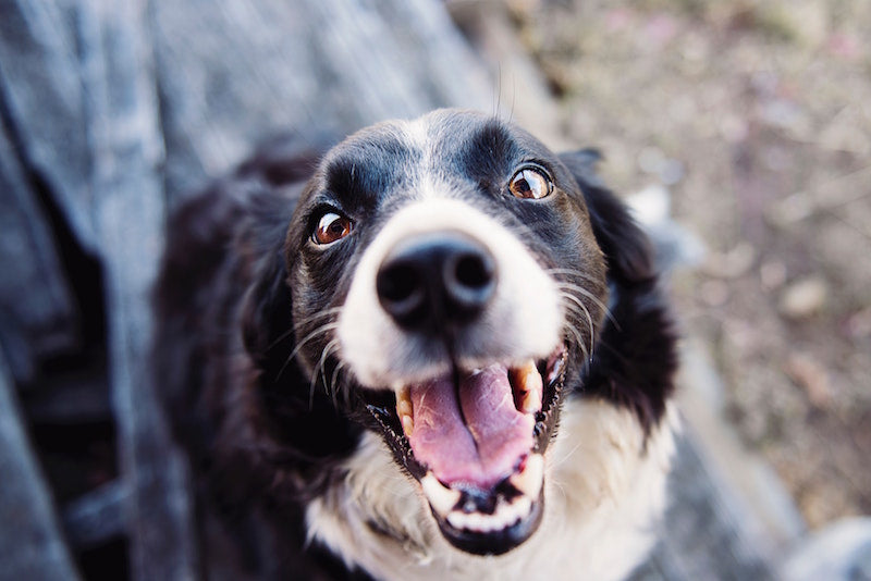 What to Give Your Dog to Help Clean Their Teeth