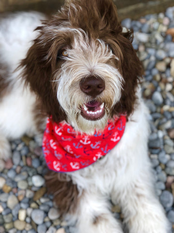 Brown and white spotted Goldendoodle dog laying on gray and brown pebbles wearing a red anchor bandana | Bubu Brands