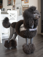 Black poodle stands in stack position with a continental cut. She is wearing a gray and black service dog vest.
