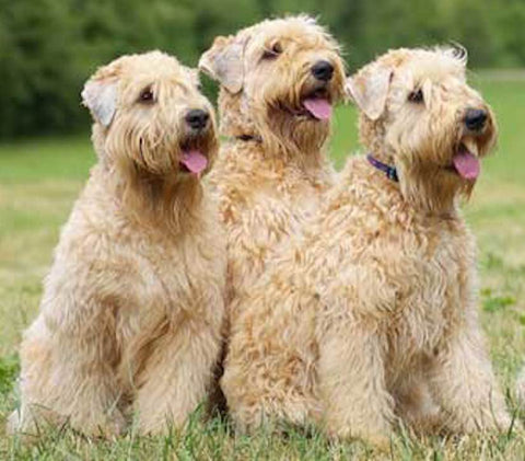 3 tan terrier dogs sitting in a field looking off to the side at something out of the picture