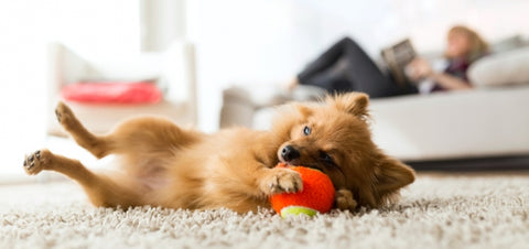 Are You Ready For a Puppy? | small chestnut brown fluffy dog lays on its back on a beige carpet playing with a red toy | Bubu Brands