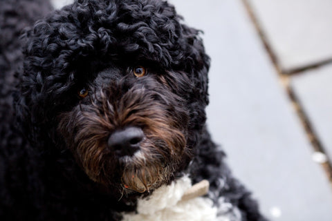 A dark portuguese water dog looking at a camera | Bubu Brands