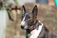 A light and dark colored bull terrier in a field | Bubu Brands