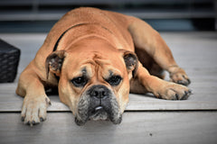 A light colored bulldog laying on a light colored front step | Bubu Brands
