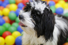 A light and dark havanese in a multi colored ball pit | Bubu Brands