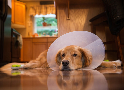 golden retriever lays on a hardwood floor with the cone of shame on.