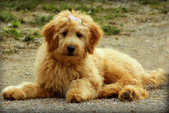 A light colored goldendoodle puppy laying on a gravel road | Bubu Brands