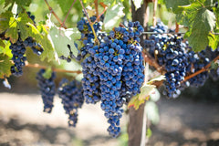 A cluster of dark grapes hanging from a bright tree | Bubu Brands