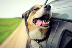 Tri colored dog rides in a car with its head out the window and tongue out. It appears to be smiling. | Bubu Brands
