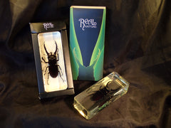Paper Weight - Mountain Stag Beetle